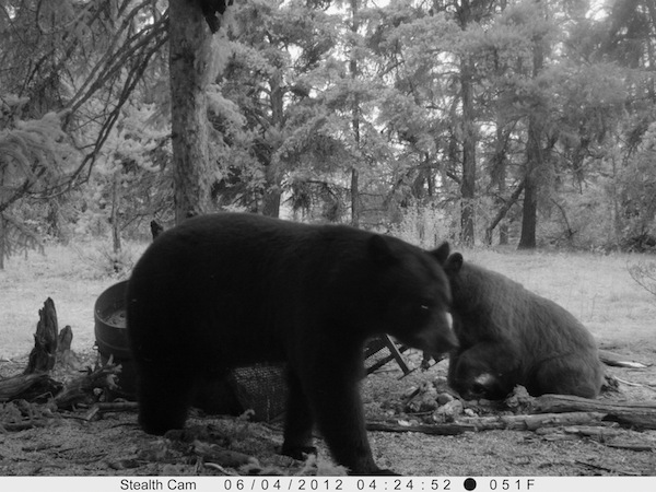 Cody's Bear on Stealth Cam