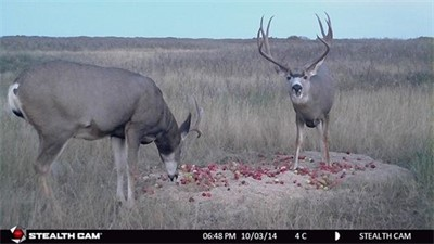 OCTOBER 18TH 2014, Nice mulie buck on STEALTH CAM